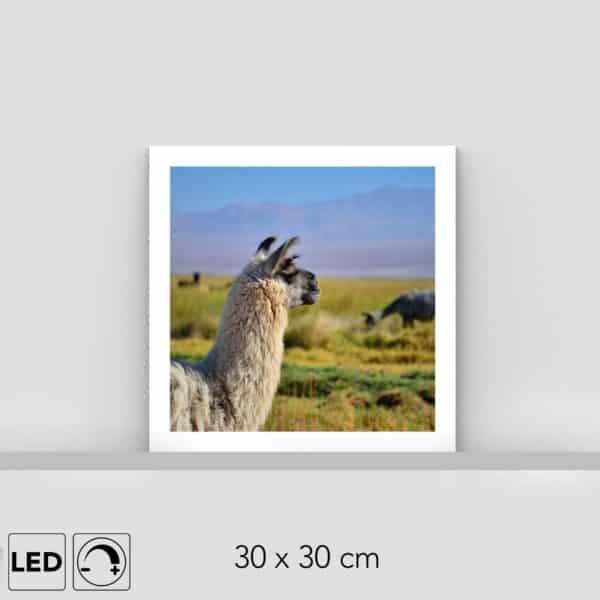 Lampe lama Atacama